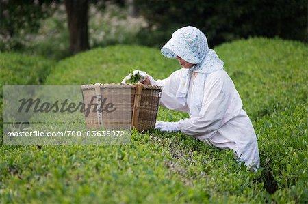Woman Picking Green Tea, Kagoshima Prefecture, Kyushu, Japan