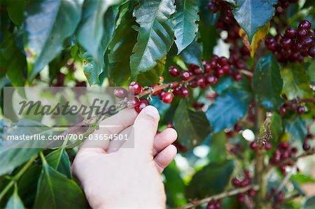 Hand Picking Coffee Berries