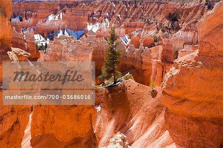 Pine Tree on Red Sandstone Ridge, Bryce Canyon National Park, Utah, USA
