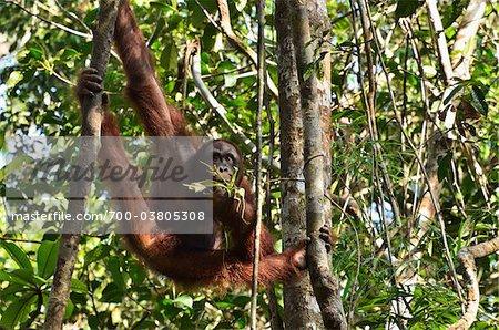 Orangutan, Semenggoh Wildlife Centre, Semenggoh Nature Reserve, Sarawak, Borneo, Malaysia