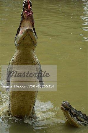 Saltwater Crocodile at Feeding Time, Sarawak, Borneo, Malaysia