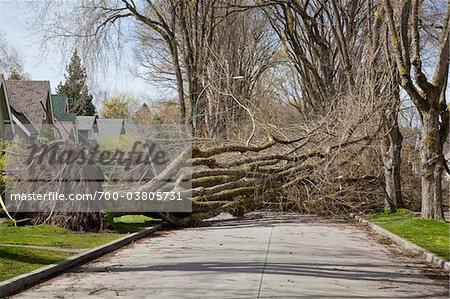 Fallen Tree Blocking Street, Vancouver, British Columbia, Canada