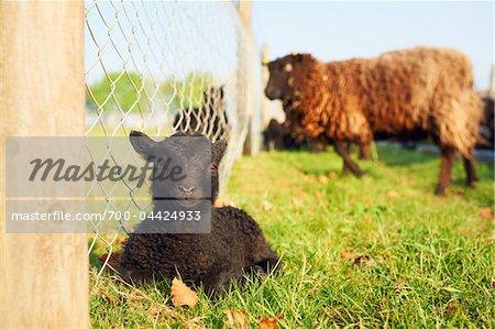 Shetland Dwarf Lamb Sitting by Fence, Cotswolds, Gloucestershire, England, United Kingdom
