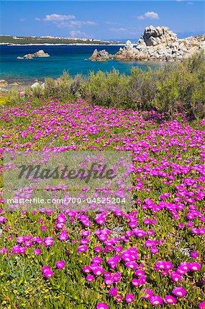 Hottentot Fig, Baia Santa Reparata, Santa Teresa Gallura, Province Olbia-Tempio, Sardinia, Italy
