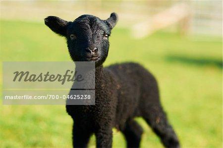 Black Shetland Dwarf Lamb in Field, Cotswolds, Gloucestershire, England, United Kingdom