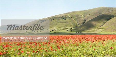 Piano Grande Flowering Field, Monti Sibillini National Park, Castelluccio, Province of Perugia, Umbria, Italy