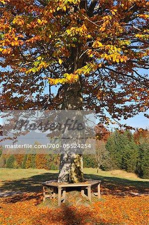 Beech Tree with Bench, Krun, Oberbayern, Bavaria, Germany