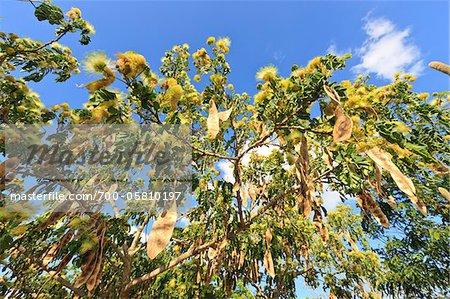 Acacia Tree, Cabaceiras, Paraiba, Brazil
