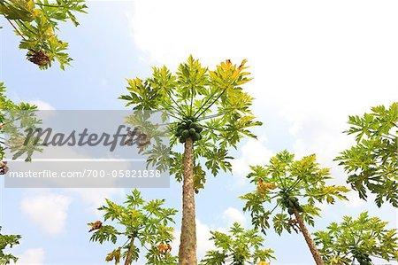 Papaya Trees on Plantation, Mamao, Camaratuba, Paraiba, Brazil