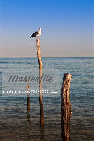 Gulls on Wooden Posts, Isla Holbox, Quintana Roo, Mexico