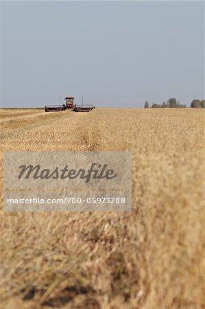 Harvesting Oats, Starbuck, Manitoba, Canada