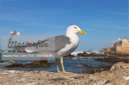 Herring Gull on Coast, Essaouira, Morocco