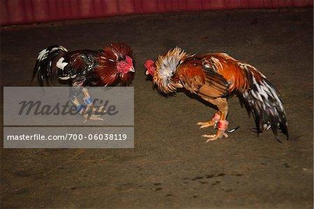 Cockfight, Chumphon, Thailand