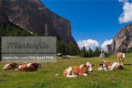 Cows Resting, Val Gardena, South Tyrol, Trentino Alto Adige, Italy