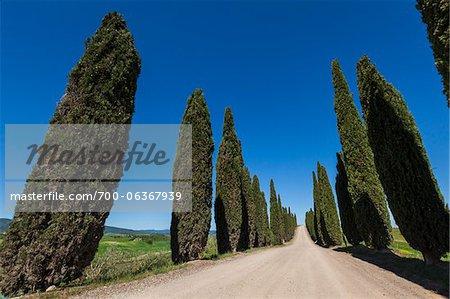 Tree-Lined Road, Montalcino, Val d'Orcia, Tuscany, Italy