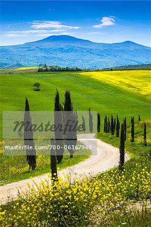 Tree-Lined Road and Meadow, Montalcino, Tuscany, Italy