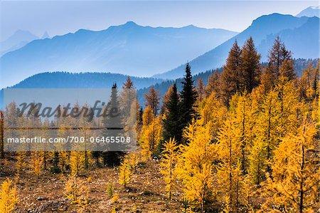 Autumn Larch and Mountain Range along Rock Isle Trail, Sunshine Meadows, Mount Assiniboine Provincial Park, British Columbia, Canada