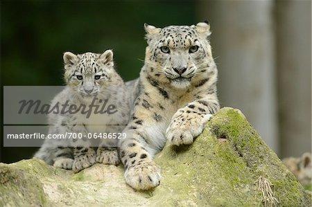 Snow Leopard (uncia uncia) Cub with Mother