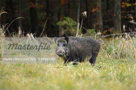 Wild Boar (Sus scrofa) Eating Grass in Field, Bavaria, Germany
