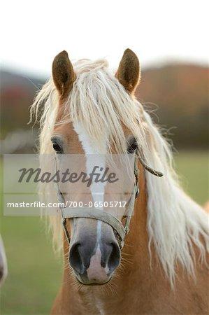 Close-Up of Haflinger Horse with Blond Mane
