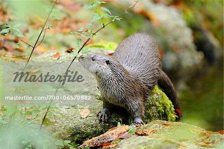 European Otter, Bavarian Forest National Park, Bavaria, Germany