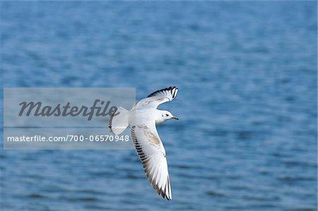 Black-headed Gull in Flight, Lake Chiemsee, Bavaria, Germany