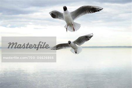 Two Black-headed Gulls (Chroicocephalus ridibundus) landing, Bavaria, Germany