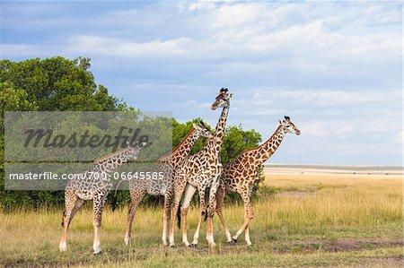Herd of Masai giraffes (Giraffa camelopardalis tippelskirchi) standing at edge of grassland, Maasai Mara National Reserve, Kenya, Africa.
