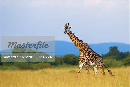 Masai giraffe (Giraffa camelopardalis tippelskirchi), male adult walking in savanna, Maasai Mara National Reserve, Kenya, Africa.