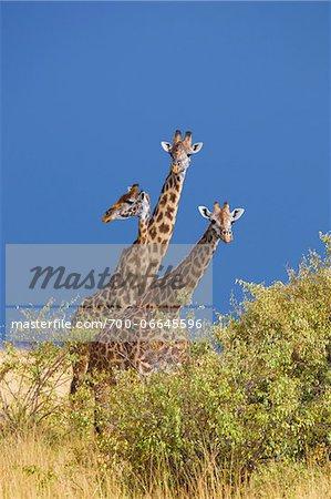Group of Masai giraffes (Giraffa camelopardalis tippelskirchi), Maasai Mara National Reserve, Kenya, Africa.