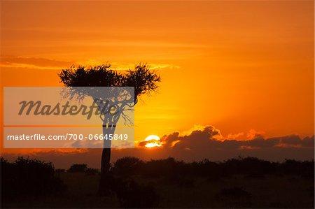 View of acacia tree silhouetted against beautiful sunrise sky, Maasai Mara National Reserve, Kenya, Africa.