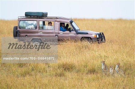 Three cheetahs (Acinonyx jubatus) and safari jeep in the Maasai Mara National Reserve, Kenya, Africa.