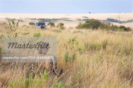 African Lion (Panthera leo) and safari jeep in the Maasai Mara National Reserve, Kenya, Africa.