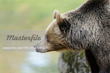Close-Up profile of Eurasian brown bear (Ursus arctos arctos) in the Bavarian Forest, Bavaria, Germany