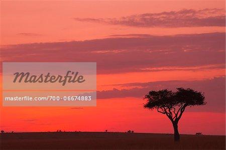 Acacia tree silhouetted against beautiful sky just before sunrise, Maasai Mara National Reserve, Kenya, Africa.