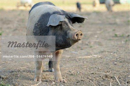 Domestic pig (Sus scrofa domesticus) on a farm