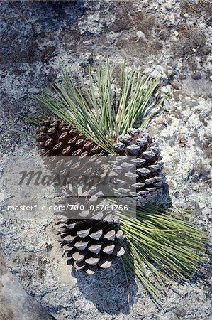 Close-up of pinecones, Arcachon, Gironde, Aquitaine, France