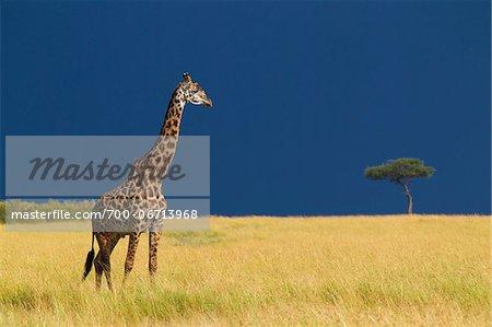 Masai giraffe (Giraffa camelopardalis tippelskirchi) in savanna just before rainstorm, Masai Mara National Reserve, Kenya, Africa