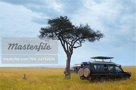 Cheetah (Acinonyx jubatus) and safari jeeps in the Masai Mara National Reserve, Kenya, Africa.