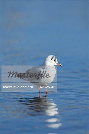 Black-headed Gull, Larus ridibundus or Chroicocephalus ridibundus, Standing in Water, Germany