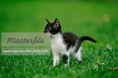 House cat kitten on a meadow, bavaria, germany