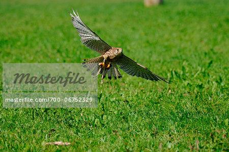 Flying Common Kestrel (Falco tinnunculus), Bavaria, Germany
