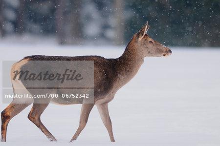 Red deer (Cervus elaphus) female in winter on the edge of the forest, Bavaria, Germany