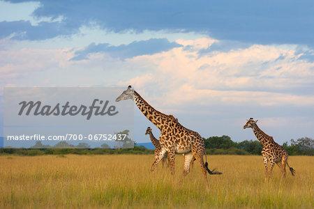 Masai giraffes (Giraffa camelopardalis tippelskirchi), Maasai Mara National Reserve, Kenya, Africa.