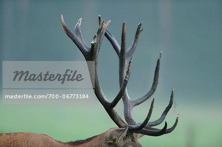 Close up of antlers from a Red deer (Cervus elaphus) buck, Bavaria, Germany