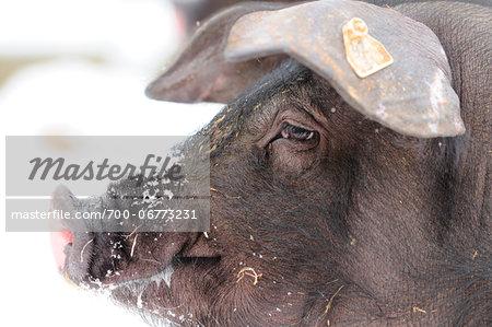 Portrait of a Swabian-Hall Pig, Germany