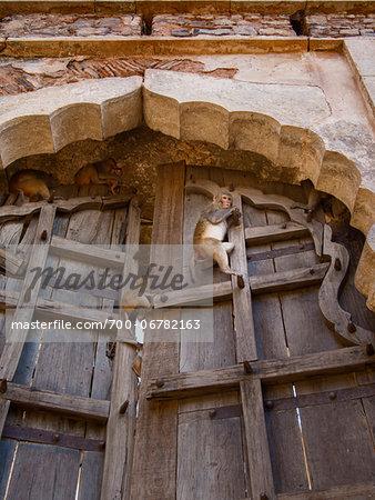 Rhesus macaque monkeys guarding door of old Taragarh fort, Bundi, India