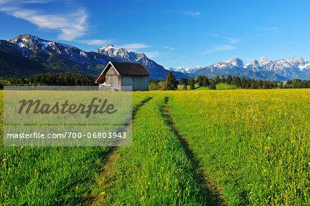 Path through flowering Meadow in the Spring, Halblech, Swabia, Bavaria, Germany