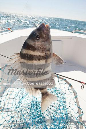 sheepshead fish caught by fisherman in georgia