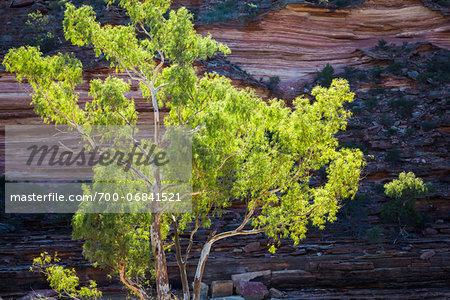 Tree in front of Rock Formation, The Loop, Kalbarri National Park, Western Australia, Australia
